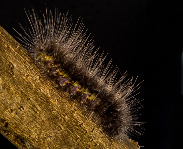 caterpillar-prickly-hairy-close-64722